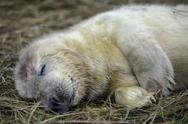 Stock Photo of Grey seal, Halichoerus grypus, young animal, sleeping on meadow