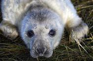Stock Photo of Grey seal, Halichoerus grypus, Portrait, Young animal, lying on meadow