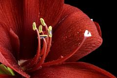 Blossom of red amaryllis, Amaryllidaceae, partial view Stock Photos