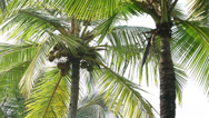 Stock Video Footage of Coconuts on a palm tree