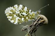 Stock Photo of Orange tip, Anthocharis cardamines, sitting on blowball