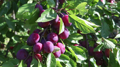 Ripe plums on a branch in a garden Stock Footage
