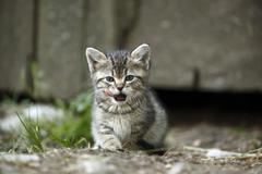 Stock Photo of Tabby kitten, Felis silvestris catus, licking snout