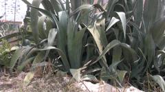 Phormium type plant leaves growing in Cyprus - stock footage