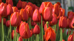 Background -Red tulips in the sun Stock Footage