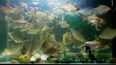 Lampam Sungai Freshwater Tank 5 Feeding Time using Samsung Galaxy S Stock Footage