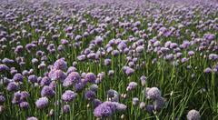 Stock Photo of field of blossoming chives, Allium schoenoprasum