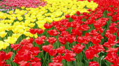 Tulips garden in spring Stock Footage