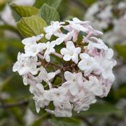 Germany, Arrowwood, Viburnum carlesii - stock photo
