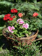 pelargoniums in wicker baskets made of twigs on a medieval wooden wain - stock photo