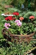 Pelargoniums in wicker baskets made of twigs Stock Photos