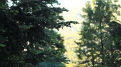 Tree Pan Fir Cedar California Forest Stock Footage