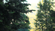 Stock Video Footage of Tree Pan Fir Cedar California Forest