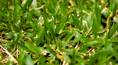 Green grass macro close up. Video shift motion Stock Footage