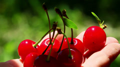 Freshly picked sour cherries - stock footage
