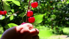 Farmer gathering sour cherries Stock Footage