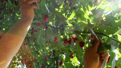 Farmer gathering sour cherries - stock footage