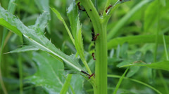 Ants herd aphids Stock Footage