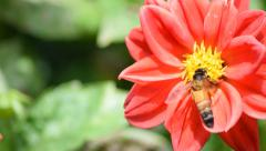 Honey Bee on red flower Stock Footage