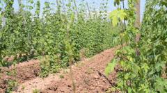 Hop garden in vegetation,rack focus, Stock Footage