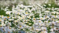 Summer field with white daisies Stock Footage