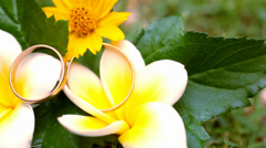 Close up wedding gold rings on the Thai flowers frangipani. Macro video shift - stock footage