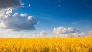 Stock Video Footage of yellow rape field. landscape of Ukraine