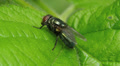 Common Green Bottle Fly (Lucilia sericata) 3 HD Footage