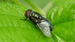 Common Green Bottle Fly (Lucilia sericata) 4 Stock Footage