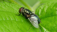 Stock Video Footage of Common Green Bottle Fly (Lucilia sericata) 4