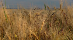 Grain field in the late spring season Stock Footage