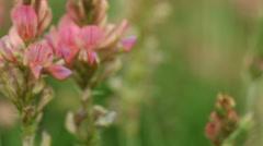 Pink purple violet flowers wildflowers on the meadow Stock Footage