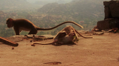 Baby monkeys play. Hampi, Karnataka, India. True slow motion. Stock Footage