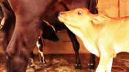 Stock Video Footage of A calf tries to get milk from a cow in a village in India.