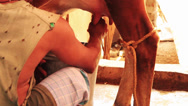 Stock Video Footage of A man milking a cow.