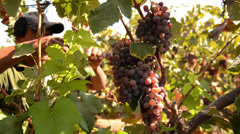 Vineyard harvesting grapes Stock Footage