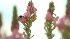 Bumblebee flying over pink purple flowers wildflowers Stock Footage