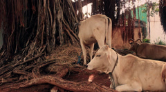 Cows rest peacefully by a banyan tree in India. Stock Footage