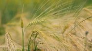 Stock Video Footage of Wheat field ripening in a sunny day. Ukraine, Europe.