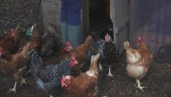 Letting the Chickens Out of the Coop Stock Footage