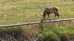 Elk Grazing by a Fence Stock Footage