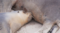 Young sea-lion breastfeeding Stock Footage