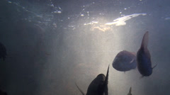 Big fish swims under reflections Stock Footage