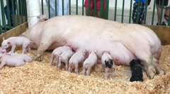 1440 Mother Pig Feeding Her Babies - stock footage