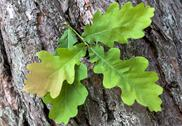 Stock Photo of green oak leaves