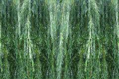 Background willow bush Stock Photos