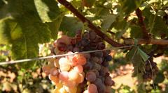 Grape harvest Stock Footage