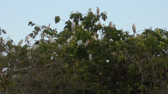 A flock of white egrets roost Stock Footage