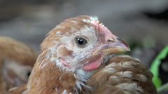 Big Head speckled hen4k Stock Footage