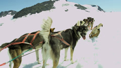 Ready for work Alaskan Husky dogs, USA Stock Footage